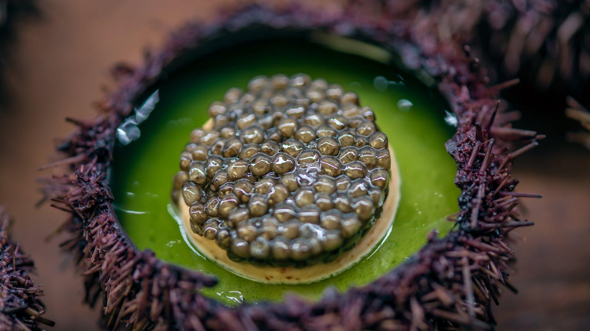 oursin caviar